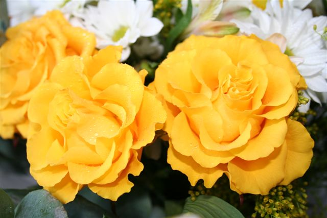 yellow roses pictures. Yellow roses.